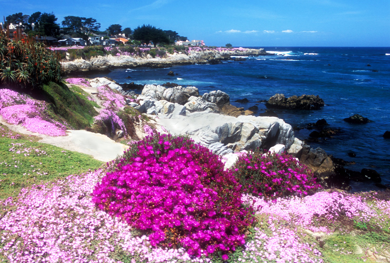 pink and purple iceplant in pacific grove on the beach